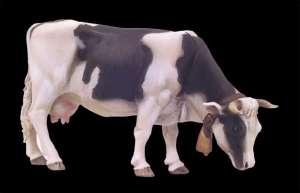 Vaca  (Vista 1)