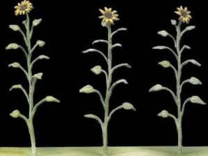 Girasoles  (Vista 1)